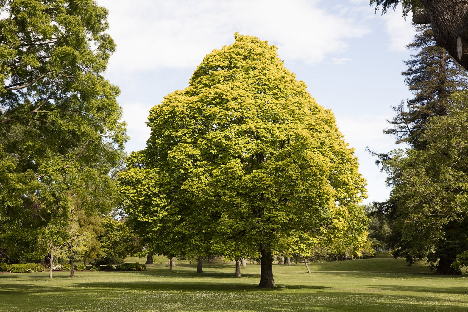 ChristchurchTree.jpg
